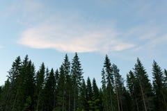 Treetops und Himmel an der Dämmerung Stockbild