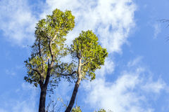 Treetops under blue sky Stock Images