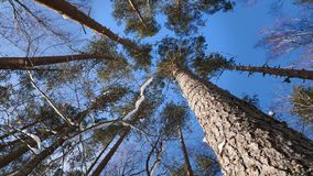 Treetops in winter forest on sunny day. Panoramic shot of the treetops in winter forest stock footage