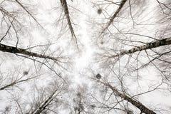 Treetops . winter season. Photographed close-up of the tops of trees in the winter season Stock Photography