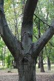 Trefaldiga stammar av trädet i parkera Royaltyfria Foton