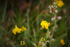 Trefoil ποδιών πουλιών λουλούδι - Lotus Corniculatus Στοκ Φωτογραφία