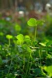 Trefoil. Green fresh trefoil on the field Stock Photography