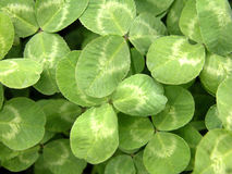Trefoil. Good luck - natural green background Stock Photo