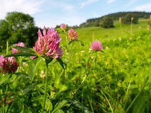 The trefoil. The flowers in the mountain meadow Stock Images