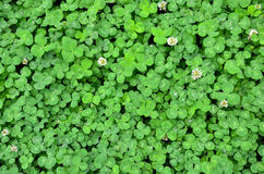 TREFOIL. As summer natural background. Some are blooming Royalty Free Stock Photos