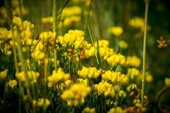 Trefoil de Birdsfoot, corniculatus de Lotus - leguminosas Foto de Stock Royalty Free