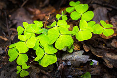 Trefoil. The trefoil growing in forest Royalty Free Stock Image