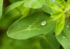 Trefoil leaf and drop Stock Photography