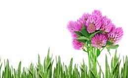 Trefoil. Spring trefoil flower and grass Stock Photo