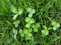 Trefoil (Trifolium)  tussock in grass Royalty Free Stock Images