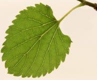 Treiben eine Maulbeere Blätter, Stockfoto