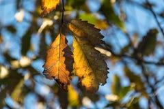 Treiben Sie in den Fall-Farben gegen Hintergrund des Baum-Laubs Blätter Lizenzfreie Stockfotografie