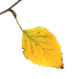 Treiben Sie an einem Zweig einer silbernen Birke im Herbst Blätter lizenzfreies stockbild