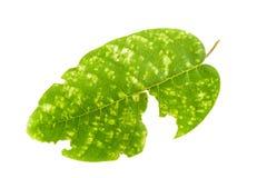 Treiben Sie mit den Löchern Blätter, gegessen von den Plagen, die auf Weiß lokalisiert werden Lizenzfreie Stockfotos