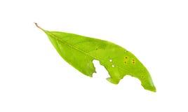 Treiben Sie mit den Löchern Blätter, gegessen von den Plagen, die auf Weiß lokalisiert werden Stockbilder