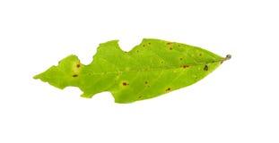 Treiben Sie mit den Löchern Blätter, gegessen von den Plagen, die auf Weiß lokalisiert werden Lizenzfreies Stockfoto