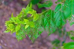 Treiben Sie mit den Löchern Blätter, gegessen von Plage-, krankem und verfallenemweinendem GR stockbild