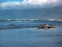 Treibholz auf einem Tasman-Seestrand, Neuseeland stockfotos