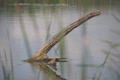 Treibholz im See lizenzfreies stockbild