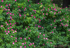 Treillis blanc supportant une vigne rouge de rose. Photo stock