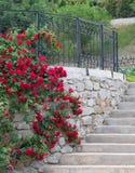 Treillis blanc supportant une vigne rouge de rose. Photo libre de droits