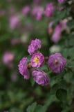 Treillis rouge de Rose Images stock