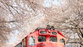 Trein tussen ruw van kersenbloesem in Jinhae royalty-vrije stock afbeelding