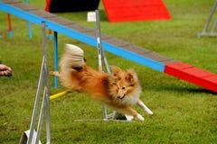 Treinamento da agilidade Fotografia de Stock Royalty Free