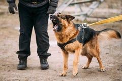 Treinamento de Dog do pastor alemão Cão cortante Imagens de Stock