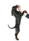 Treinamento do cão Foto de Stock Royalty Free