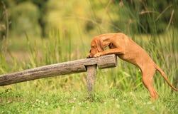 Treinamento do cão de Vizsla do Hungarian fotografia de stock