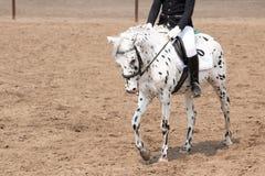 treinamento do cavalo no estábulo Close-up principal fotografia de stock