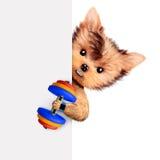 Treinamento engraçado do cão com peso atrás da bandeira Foto de Stock