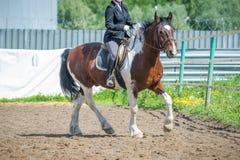 Treinando na equitação, nível básico Cavaletti em um trote Fotos de Stock Royalty Free