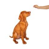 Treinando um cachorrinho de Vizsla para sentar-se Imagens de Stock