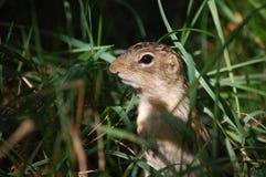 Treize ont rayé l'écureuil au sol Image libre de droits