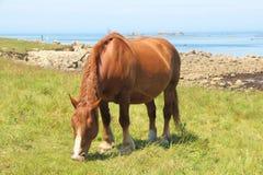 Trek Bretons paard op een gebied in Bretagne stock foto's