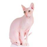 Trek kat Sphynx aan Royalty-vrije Stock Afbeeldingen