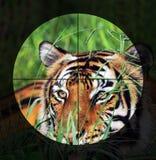 Trek ` t Hunt Tigers aan Royalty-vrije Stock Foto's