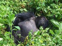 Trek van de gorilla Stock Afbeeldingen
