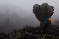 Trekker at Kilimanjaro. Hiker take a rest under the senecio kilimanjari royalty free stock photos