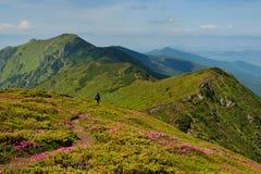 Trekker marchant sur le gisement de fleurs dans Images libres de droits
