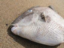 Trekkervissen Balistascapriscus Royalty-vrije Stock Foto's