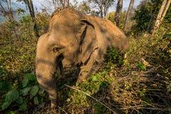 Trekking com elefantes Imagens de Stock