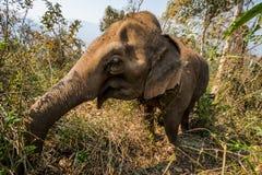 Trekking com elefantes Fotos de Stock Royalty Free