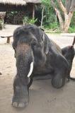 Trekking d'éléphant en Thaïlande Photos stock