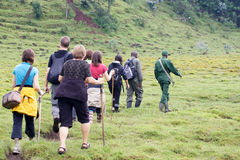 Trekking de gorille de montagne Images libres de droits