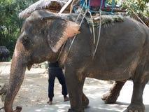 Trekking facente un giro turistico dell'elefante della Tailandia Fotografie Stock