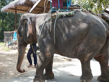 Trekking facente un giro turistico dell'elefante della Tailandia Immagini Stock